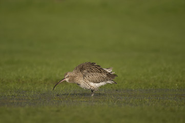 Curlew, on the grass, washing itself, in the Winter