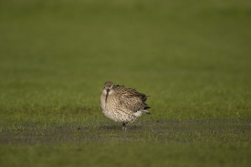 Curlew, on the grass, displaying, in the Winter