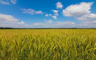 Kornfeld mit blauem Himmel und einigen Wolken im Sommer