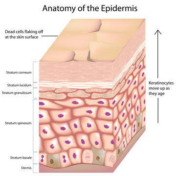 3d anatomy of layers of the epidermis