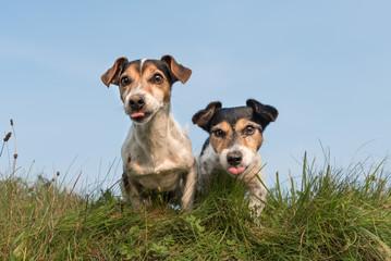Zwei Hunde sitzen lustig nebeneinander - Jack Russell Terrier