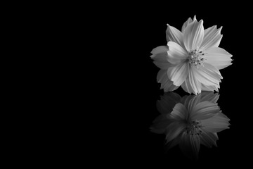 cosmos sulphureus flower of black and white