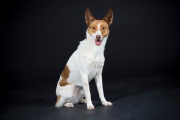 Hund Lina entspannt im Studio auf schwarzem Hintergrund