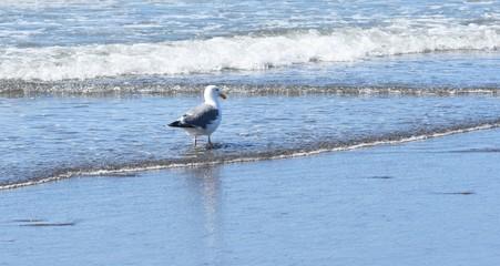 Seagull walking in water