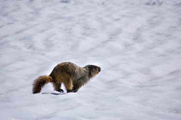 Wild Marmot
