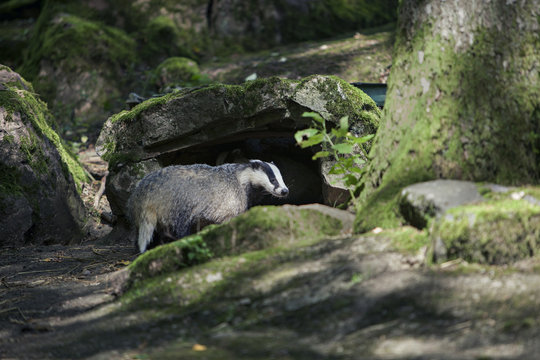 Badger going into his home