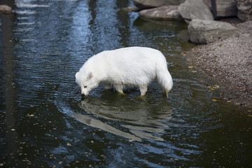 White raccon dog going into the water