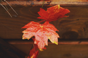 Decoration with red maple leaves and wooden crate