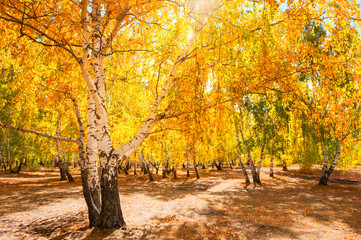 Trees with yellow leaves in autumn forest.