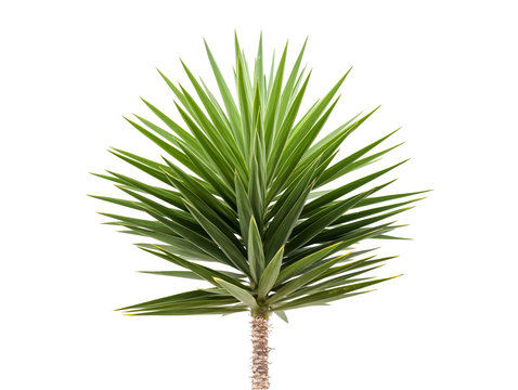 Green Yucca plant isolated on white