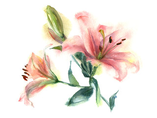 Watercolor painting of flowers. Pink Lily on a white background.