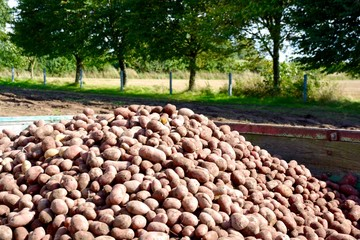 Kartoffeln - Ernte im September - Kartoffelernte