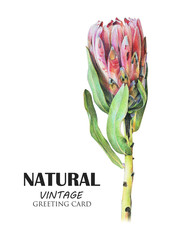 Red protea flower drawn by hand with colored pencil. Tropical plant. Botanical natural collection, isolated illustration on white