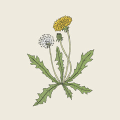 Elegant detailed drawing of dandelion plant with yellow flower, seed head and bud growing on stem and leaves. Beautiful wildflower hand drawn in vintage style. Botanical vector illustration.