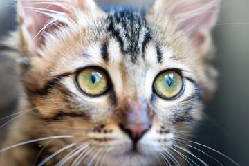 little striped kitten with green eyes closeup
