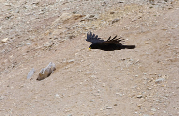 Flying chough