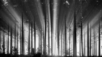 Papiers peints Forets Foggy spruce forest in the morning, monochrome, black and white. Misty morning with strong sun beams in a spruce forest in Germany, Rothaargebirge. High contrast and backlit scene.