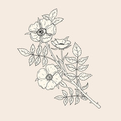 Elegant drawing of dog rose flowers with stem and leaves. Beautiful wild flowering plant hand drawn with contour lines. Blooming shrub, botanical decorative element. Natural vector illustration.
