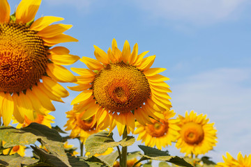 beauty of sunflowers with sky.