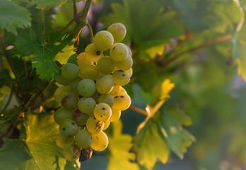 Weintrauben hängen an einer Rebe