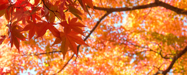 Autumn Japanese maple tree background with copyspace