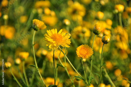 Chrysanthemum flowers , focused on the bee, mostly blur at the flowers, blurry background in direct sunlight - afternoon time