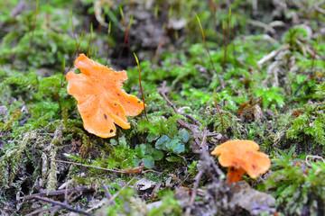 cantharellus friesii mushroom