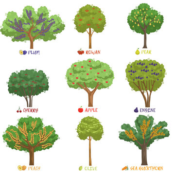 Different fruit trees sorts with names set, garden trees and berry bushes vector Illustrations