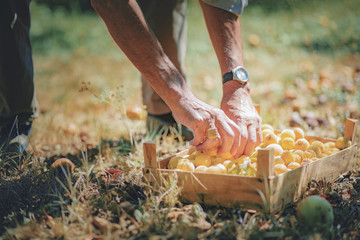 Senior man harvesting peaches, placing them in a wooden basket