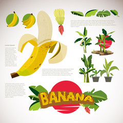 bananas set. banana leaves, fruit and flower of banana collection -vector