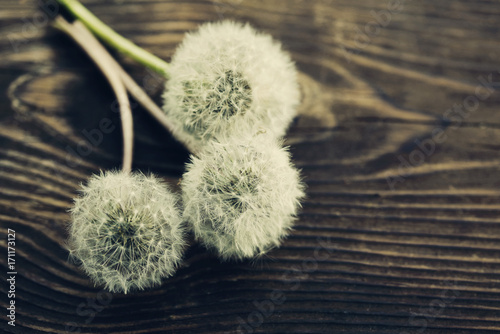 Three fluffy dandelions on a wooden textural surface