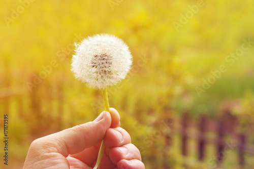 Dandelion in a hand on a bright natural yellow background