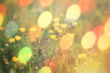 Beautiful meadow flower, buttercup flower in grass lit by sun light