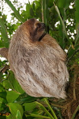 Bradypus variegatus three toed sloth wild animal in the jungle of Costa Rica, Central America