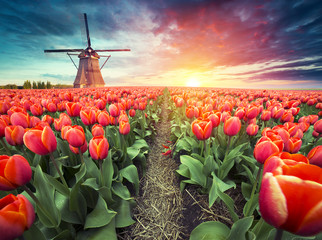 In de dag Zalm Landscape with tulips, traditional dutch windmills and houses near the canal in Zaanse Schans, Netherlands, Europe