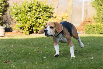 running beagle in a garden