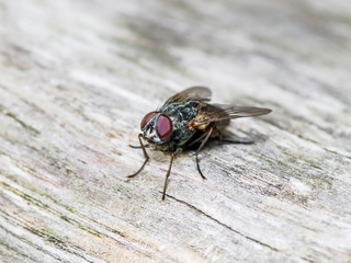 Diptera Fly Insect On Wooden Wall