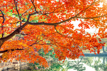 Wall Mural - Autumn leaves, Red maple in Autumn.