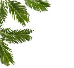 Tropical leaf palm tree Cycas revoluta (Sotetsu, sago palm, king sago, sago cycad, Japanese sago palm) on a white background. Top view, flat lay.