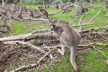 Little kangaroo stand among their family in wildlife park