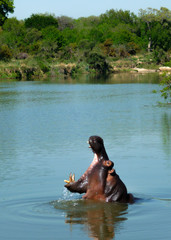 Hippopotamus yawing whilst relaxing in the river