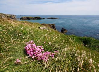 Flowers at the coast, Annestown, Ireland