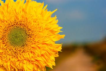 Yellow flower of decorative sunflower