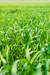 Field of green young wheat. Green grass