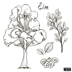 Sketch of an elm