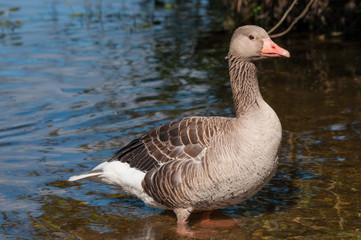 Goose in Denmark