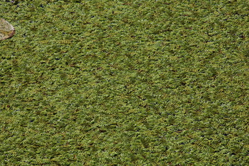 Green Duckweed natural background on water.