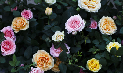 Beautiful roses on flower market