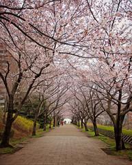 Hanami. Cherry Blossom season. Tokyo. Japan.