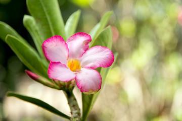 Obesum adenium flowers in garden for background.